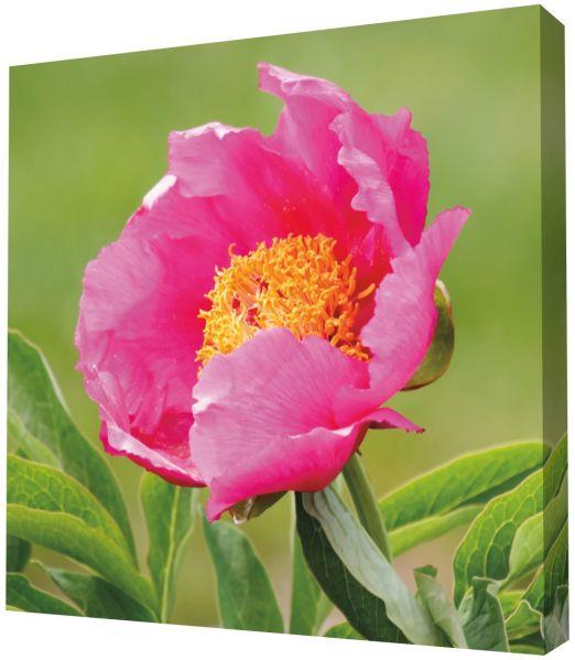 tableau d 39 ext rieur fleur de pivoine 20x20 d coration. Black Bedroom Furniture Sets. Home Design Ideas